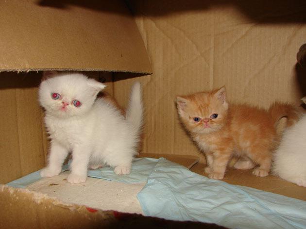 纯种加菲猫图片大全图片; 加菲猫幼猫专卖批发网上店铺好不好;