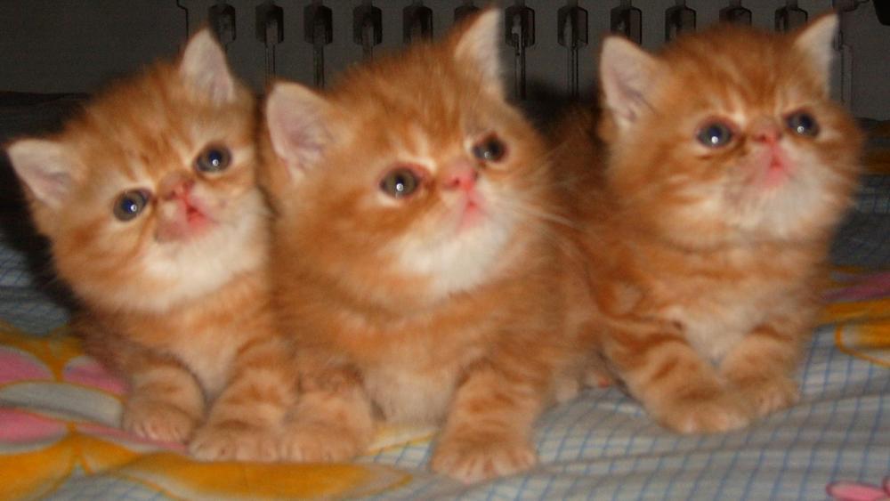 赛级红色标准虎斑加菲猫(幼猫); 【6图】加菲猫 可爱的小三花加菲妹妹