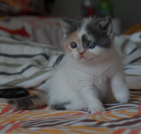 可爱活泼的三色花纹小猫一对,希望有个爱心100的妈妈领他们回家,照顾