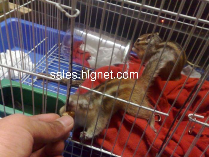 出售可爱的小松鼠宝宝