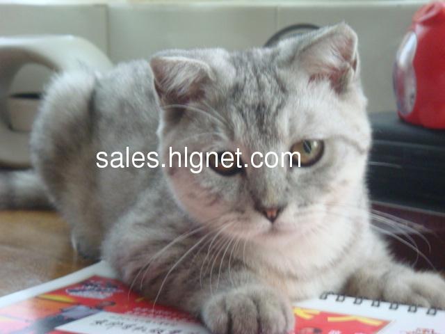 快四个月的苏格兰折耳女猫,灰白虎斑,温顺乖巧亲人,刚买来不到一月,非常喜欢,但因家人对猫过敏,如何尝试也适应不了,无奈只好转让。从熟人处低价购得,原价转让,并赠送全部猫用品,只希望对猫咪好。猫贩请勿扰。