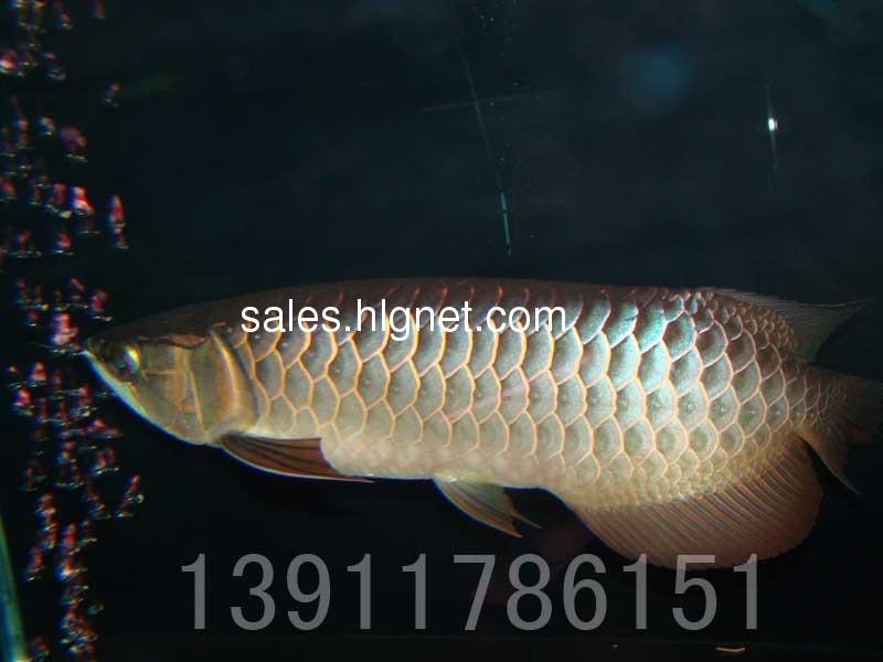 过背金龙鱼25cm7500元细框蓝底珠鳞全满金质强!