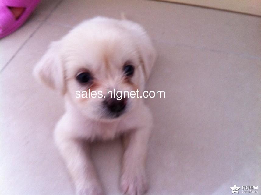 纯白色,活泼可爱小狗免费赠送